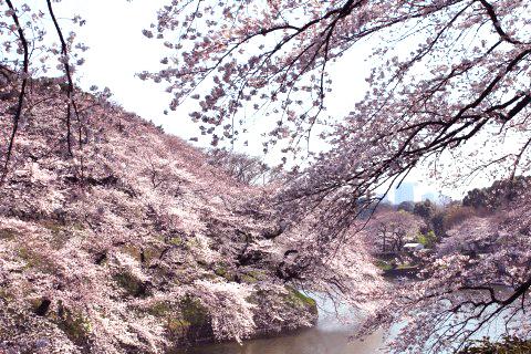 Sakura: Cherry Blossom